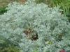 Artemisia 'Powis Castle'
