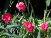 Dianthus 'Dawlish Joy'