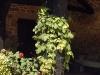 Humulus lupulus 'Aureus'