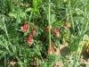 Aquilegia canadensis 'Little Lanterns'