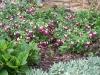 Fuchsia 'La Campanella'