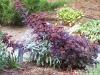 Sedum telephium ssp. maximum 'Atropurpureum'