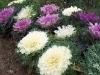 Brassica oleracea var. acephala 'Coral Prince'
