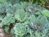 Brassica oleracea var. acephala 'Red Peacock'