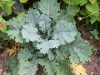 Brassica oleracea var. acephala 'Red Russian'