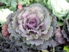 Brassica oleracea var. acephala 'Tokyo'
