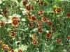 Cosmidium burridgeanum