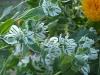 Euphorbia marginata 'Neige des Montagnes'
