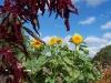Helianthus annuus 'Sonnegold'
