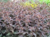 Lysimachia ciliata 'Firecracker'