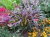 Panicum miliaceum F1 'Purple Majesty'