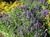 Salvia farinacea 'Rhea'