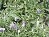 Salvia farinacea 'Strata'