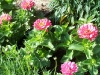 Zinnia elegans 'Dreamland Pink'