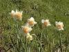 Narcissus fleur d'Orchidée