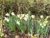 Narcissus 'Cassata'