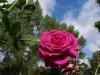 Violette Parfumée