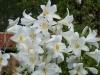 Lilium regale