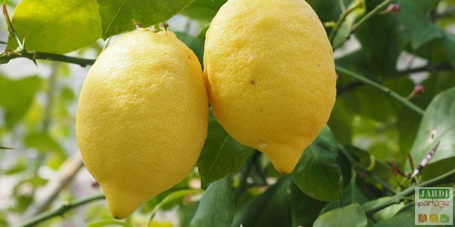 citronnier 4 saisons en pot
