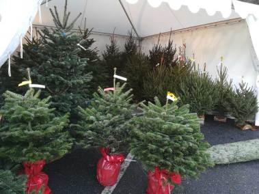 Sapin de Noël Nordmann français en pot en vente Jardinerie Pradel Horticulture à Bagnères de Luchon
