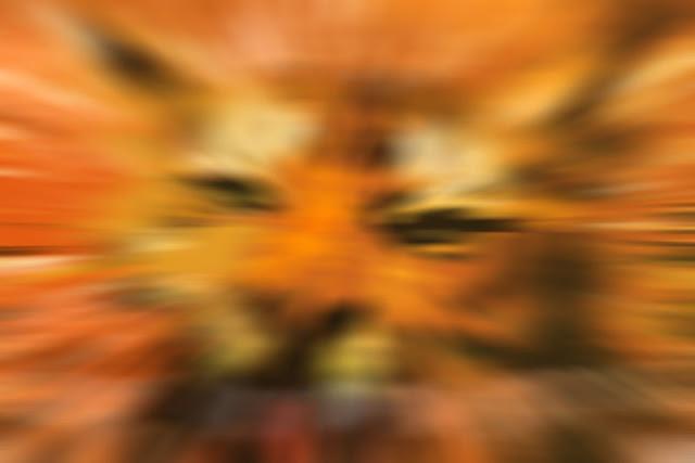 tigre-desenf-mov