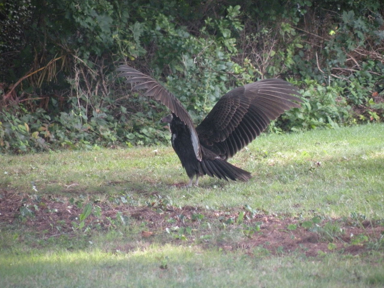 turkey_vulture-09-16-2009-2