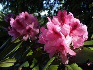 rododendri 1