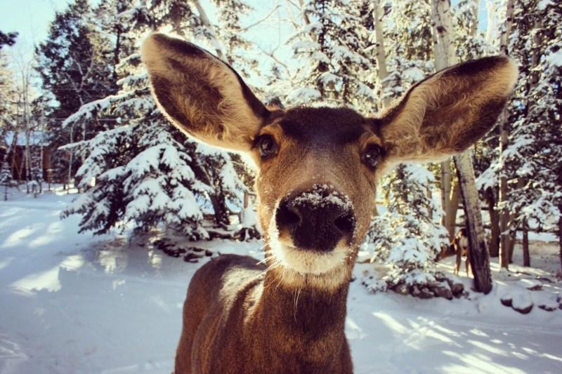 brown deer photo