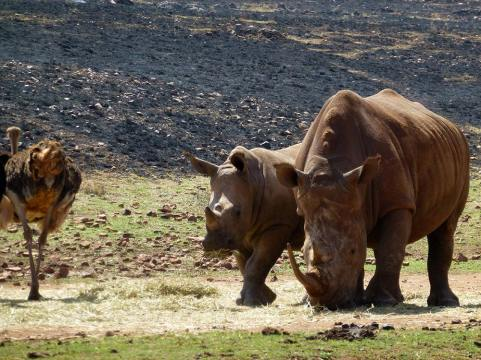Some rhinos, juxtaposed with an ostrich arse