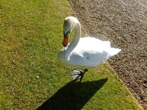 Swanpic6