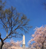 Cherry Blossoms And The Washington Monument. Now With Scaffolding!