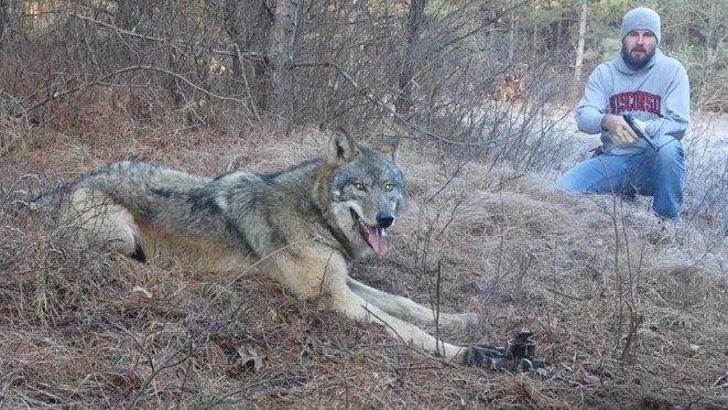 Timber Wolf Released From Trap Unharmed [VIDEO]