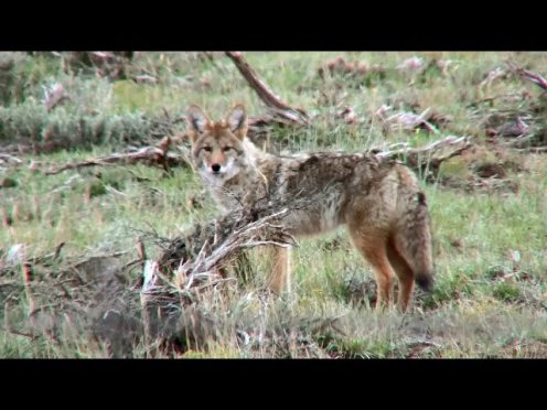 Deer vs. Coyote in a Battle to Survive [VIDEO]
