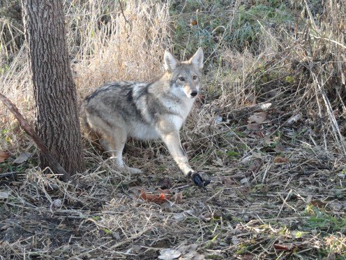 How to Dispatch a Coyote Without Blood [VIDEO]
