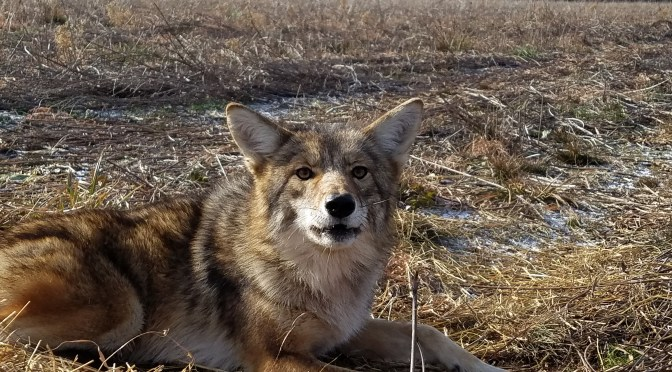 Two Coyotes Taken With One Arrow [Video]