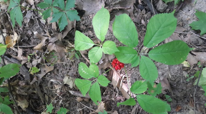 Identifying and Selling Wild Ginseng [Video]