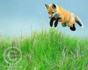 A leaping fox in an alpine meadow in the Banff National Park Canadian Rockies.