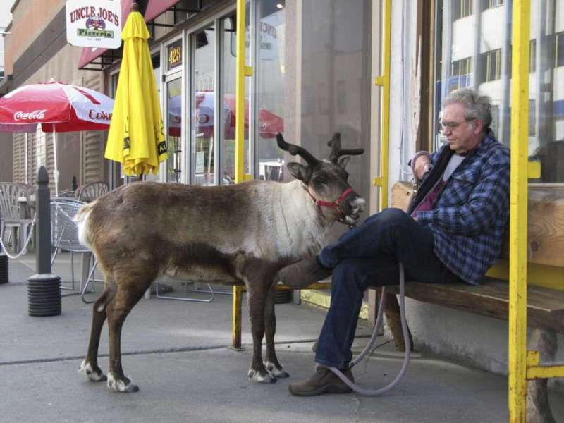 FILE - This May 23, 2010, file photo shows Star the reindeer and her owner, Albert Whitehead, taking  … <a class=