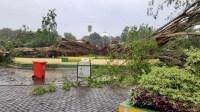 Pohon Beringin Berusia Ratusan Tahun di Tengah Alun-alun Kabupaten Lumajang Roboh