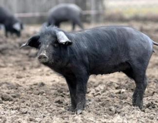 crna-slavonska-svinja-midi