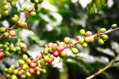 kava-grana-large