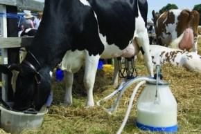 krava-mlijeko2-midi