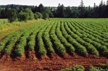 krumpir-polje-midi