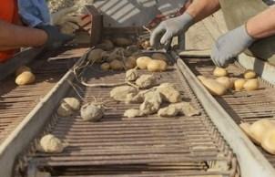 krumpir-sortiranje-midi