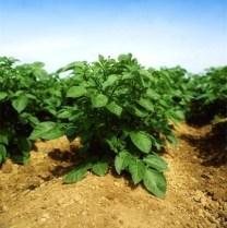 krumpir-usjevi-midi