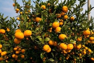neretvanske mandarine-midi