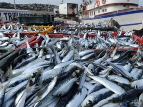 ulov-morske-ribe-midi