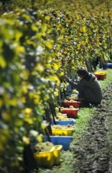 vinograd-ekoloska-proizvodnja-midi