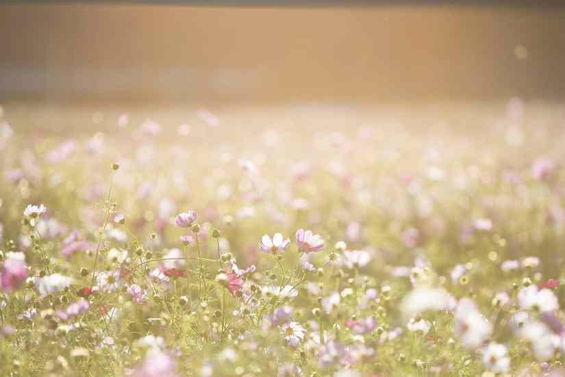 Flores del desierto de atacama
