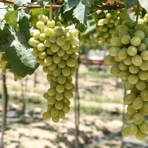 Green grapes from the Ba Moi vineyard in the Ninh Thuan province, Ninh Phuoc district